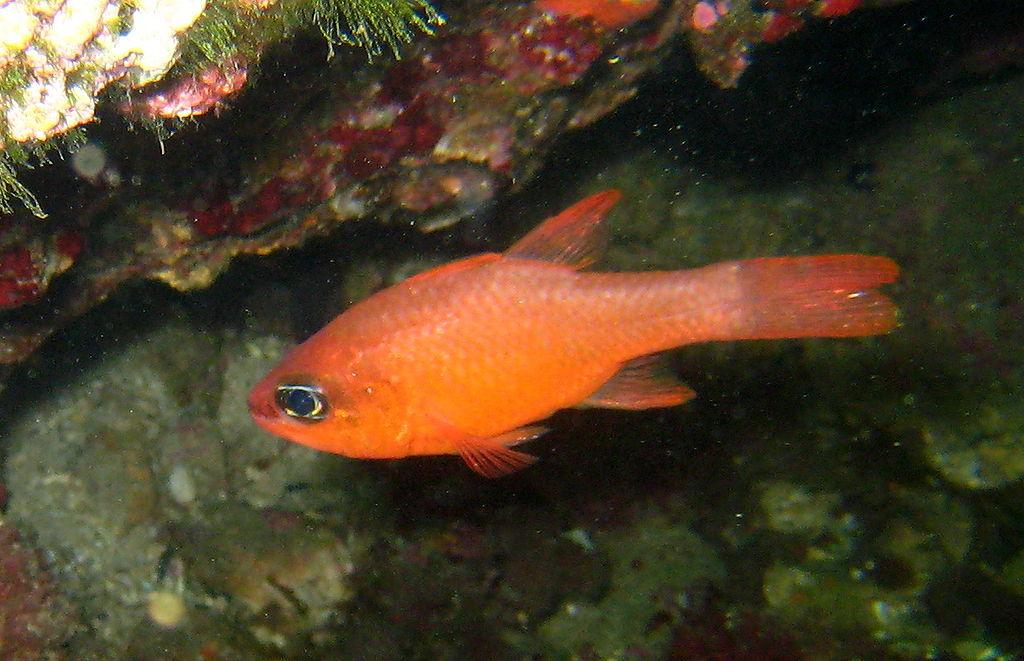سردوك البحر - Apogon